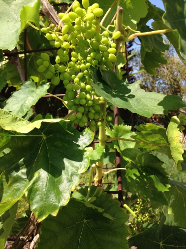 Thompson Seedless grapes beginning to set, June 2015.