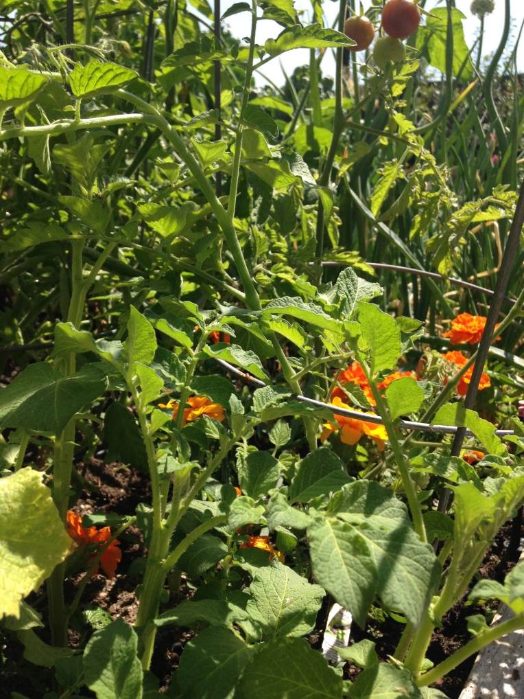 Tomatoes, underplanted with marigolds, parsley, basil, and some accidental potatoes left over from winter!