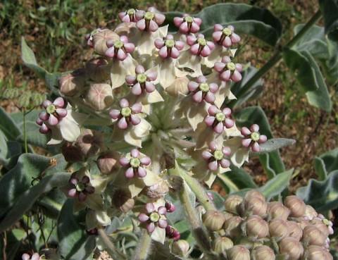 A. eriocarus, aka Kotolo, woolly, or woolly-pod milkweed